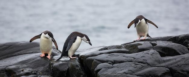 Panoramablick auf drei pinguine auf den steinen in der antarktis Kostenlose Fotos