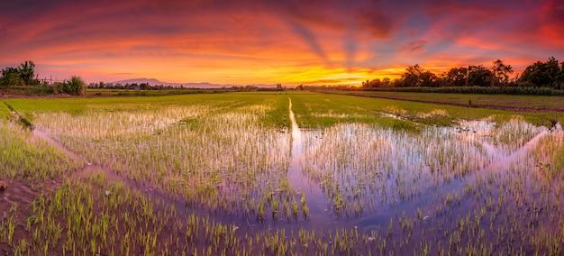 Panoramalandschaft des reisfeldes und des schönen himmelsonnenuntergangs Premium Fotos