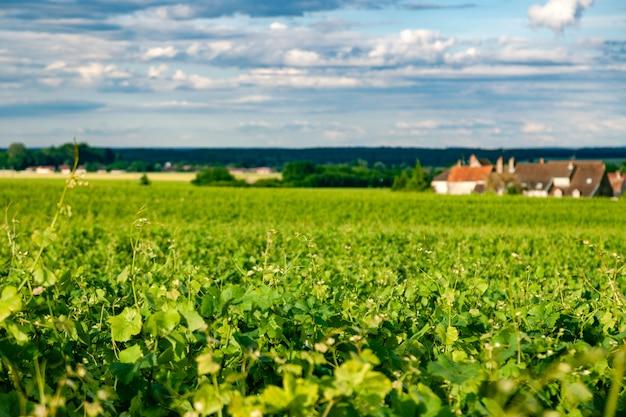 Panoramischer schuss der nahaufnahme rudert szenische landschaft des sommerweinbergs, plantage, schöne weintraubenniederlassungen, sonne, kalksteinland. herbst trauben ernten, natur landwirtschaft Premium Fotos