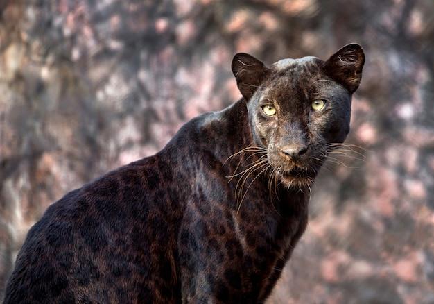 Panther oder leopard in natürlicher atmosphäre. Premium Fotos