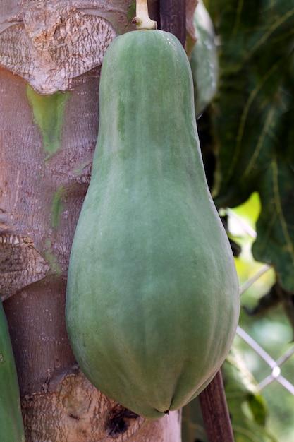 Papayabaumnahaufnahme mit unausgereiften früchten Premium Fotos