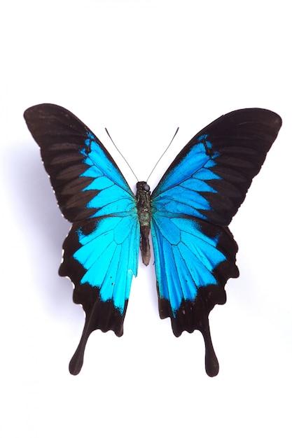 Papilio ulysses blue-schmetterling auf dem weißen hintergrund Premium Fotos