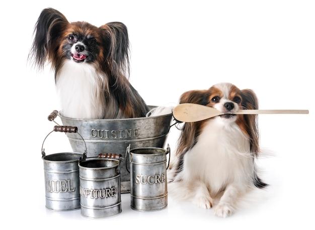 Papillon hunde kochen Premium Fotos