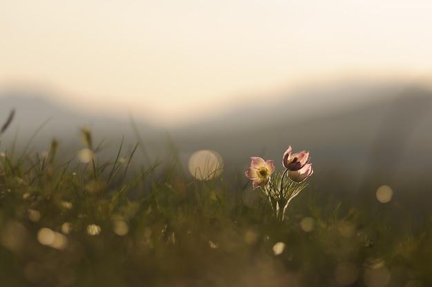 Pasque flower, der auf frühlingsfelsen bei dem sonnenuntergang blüht. Premium Fotos