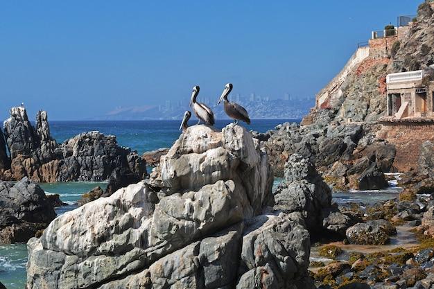Pelikan an der küste von vina del mar. Premium Fotos