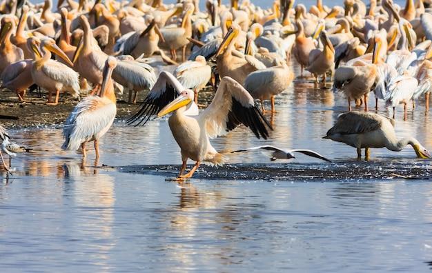 Pelikan auf dem wasser. kenia, afrika Premium Fotos