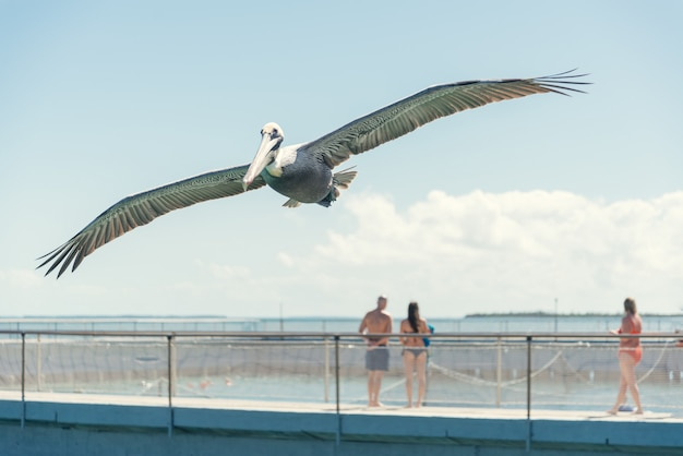 Pelikan fliegt über den strand Premium Fotos