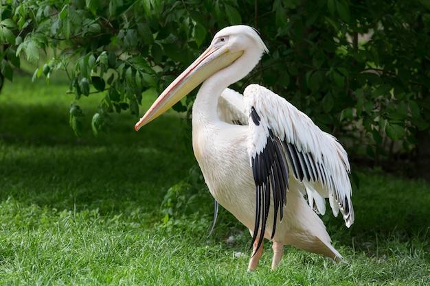Pelikan oder rosafarbener pelikan Premium Fotos