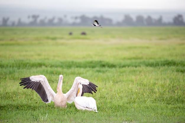 Pelikanvögel im grünen gras stehend Premium Fotos