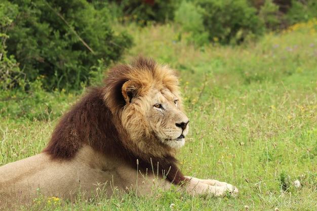 Pelziger löwe, der tagsüber im nationalpark addo elephant liegt Kostenlose Fotos