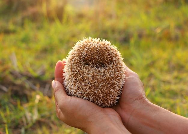 Person, die nettes igeles in der hand erschrockenes stacheliges säugetier hält Premium Fotos
