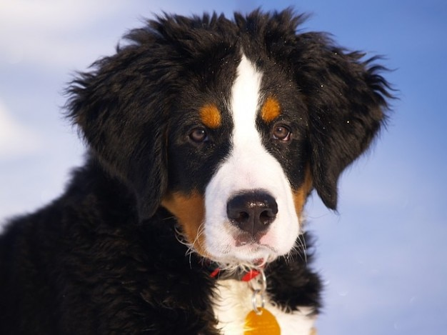 Free Bernese Mountain Dog