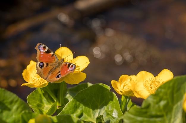 Pfau schmetterling - aglais io - sitzt auf der blume von kingcup oder marsh marigold - caltha palustris. Premium Fotos