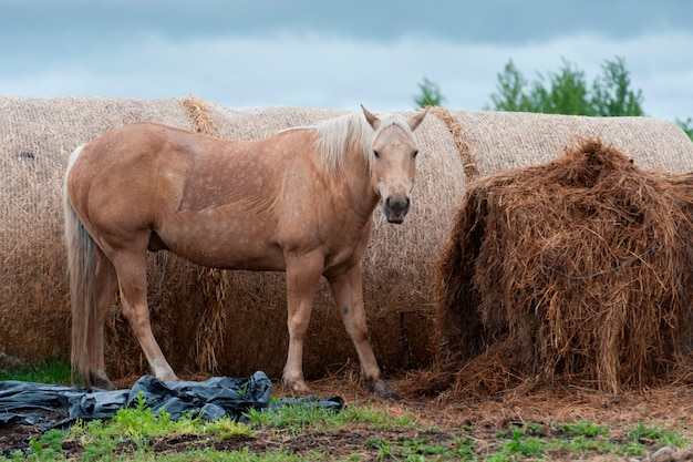 Pferd, das nahe heuballen, nord-alberta, alberta, kanada steht Premium Fotos