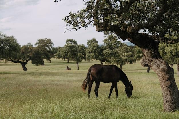 Pferd grasen auf einer wiese mit steineichen Premium Fotos