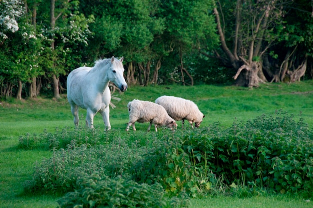 Pferd und schaf Premium Fotos