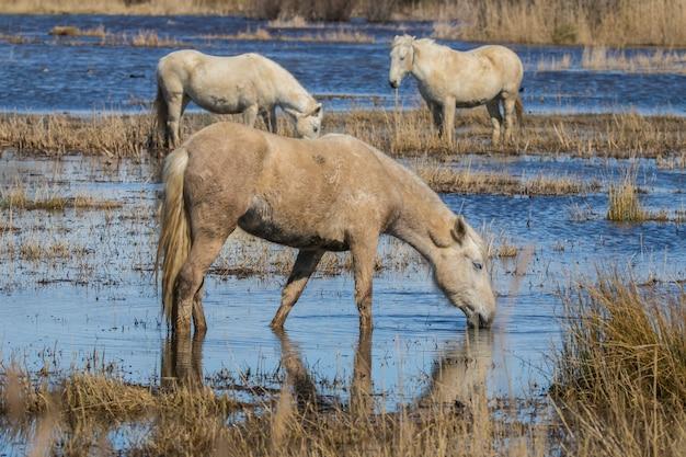 Pferde der camargue im naturpark o Premium Fotos