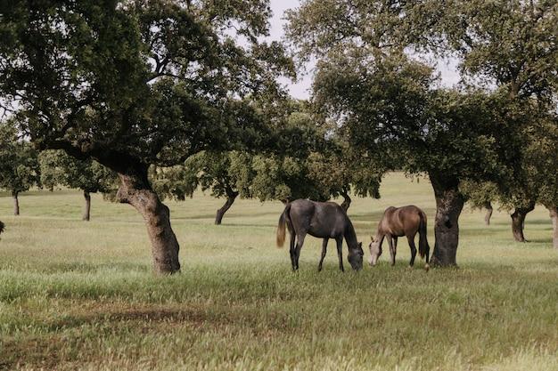 Pferde grasen auf einer wiese mit steineichen Premium Fotos