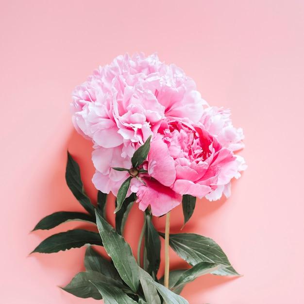 Pfingstrosenstraußblumen in voller blüte lebhafte rosa farbe lokalisiert auf hellrosa hintergrund. flachlage, draufsicht, platz für text. platz Premium Fotos