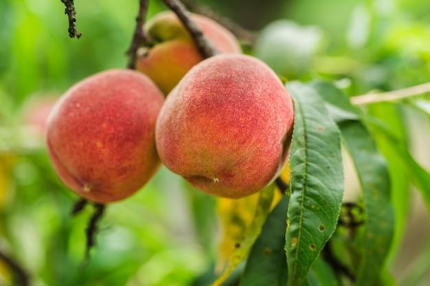 Pfirsiche auf einem ast Premium Fotos