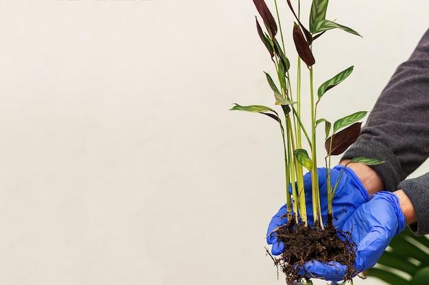 Pflanzen sie mit ktenante-wurzeln in der hand vor dem hintergrund der wand. pflanzentransplantationskonzept. Premium Fotos
