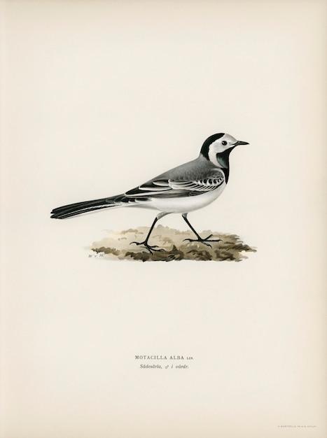 Pied wagtai male (motacilla alba), illustriert von den brüdern von wright. Kostenlose Fotos