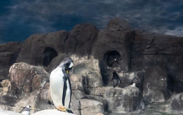 Pinguin in einem zoo, das gefieder pflegend Premium Fotos
