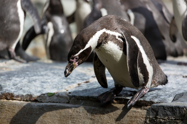 Pinguin versucht, in das wasser zu tauchen, gruppe humboldt-pinguine im hintergrund Premium Fotos