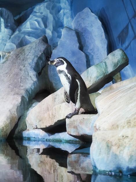Pinguine auf einem felsen, pinguine am zoo zuhause hinter glas. Premium Fotos