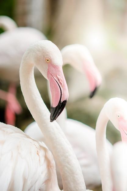 Pink flamingo-nahaufnahme, es hat eine schöne färbung von federn. flamingo, phoenicopterus roseus Premium Fotos