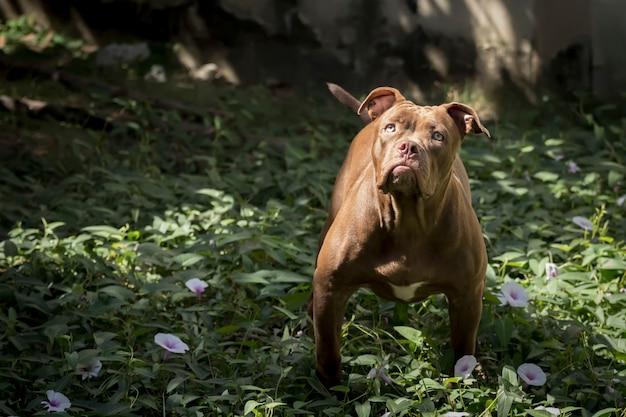 Pitbull dog starrt das opfer mit entschlossenem auge an. Premium Fotos