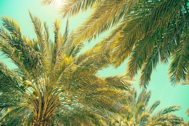 Plantage von dattelpalmen in israel. schöne natur Premium Fotos