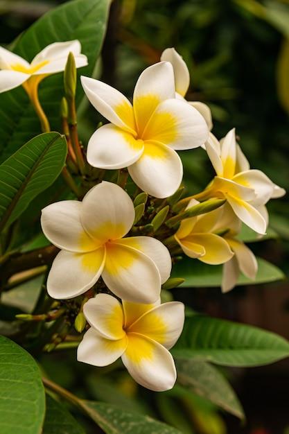 Plumeria rubra blüten Premium Fotos