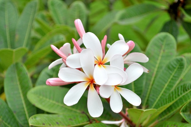 Plumeria Premium Fotos