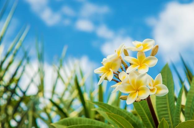 Plumeriablumen, die gegen den himmel blühen. selektiver fokus Premium Fotos