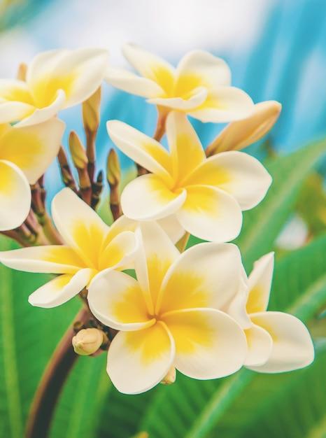 Plumeriablumen, die gegen den himmel blühen. Premium Fotos