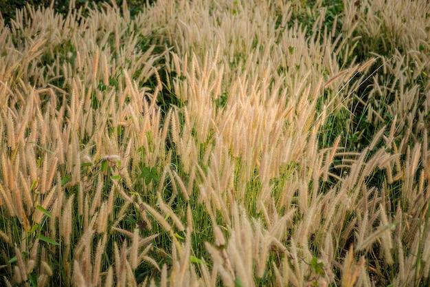 Poaceae grass flowers field und poaceae hintergrund Premium Fotos