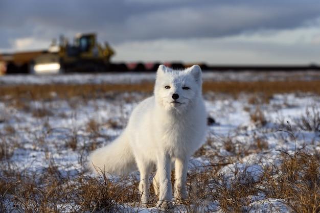 Polarfuchs in der winterzeit in der sibirischen tundra mit industriellem hintergrund. Premium Fotos