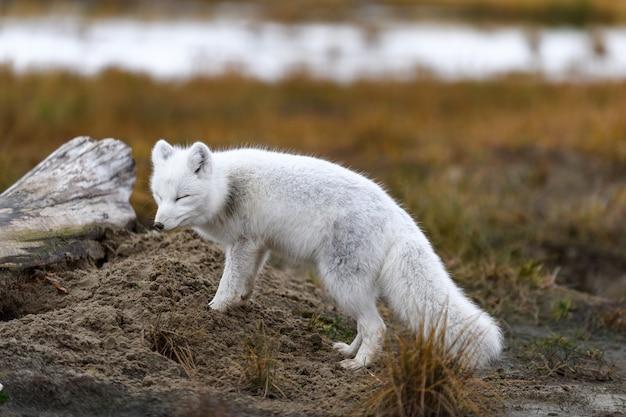 Polarfuchs (vulpes lagopus) in wilder tundra. polarfuchs am strand. Premium Fotos