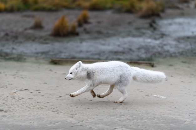 Polarfuchs (vulpes lagopus) in wilder tundra. polarfuchs läuft. Premium Fotos