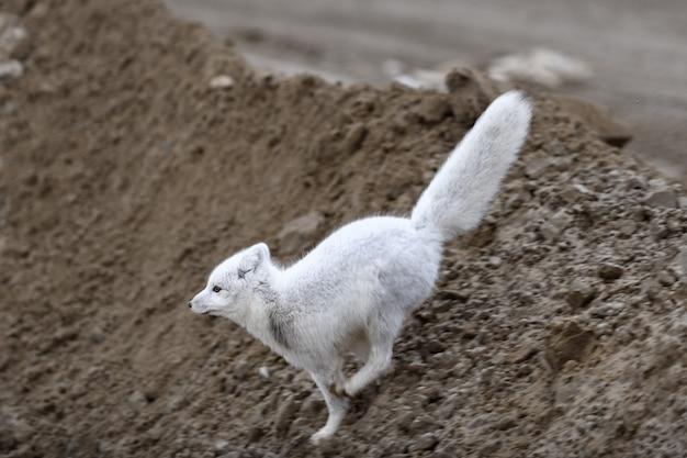 Polarfuchs (vulpes lagopus) in wilder tundra. polarfuchs springen. Premium Fotos
