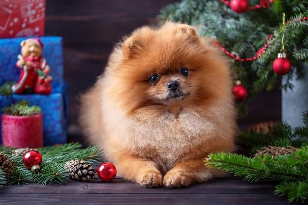 Pomeranian-hund in den weihnachtsdekorationen auf dunklem hölzernem hintergrund Premium Fotos