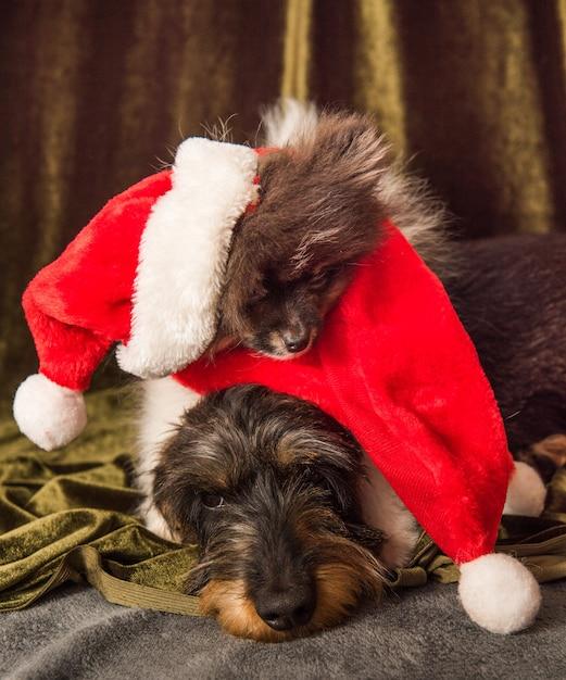 Pommersche und dackelhunde schlafen an weihnachten in einer weihnachtsmütze Premium Fotos