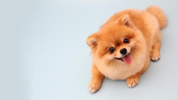 Pommerscher hund auf blau Premium Fotos