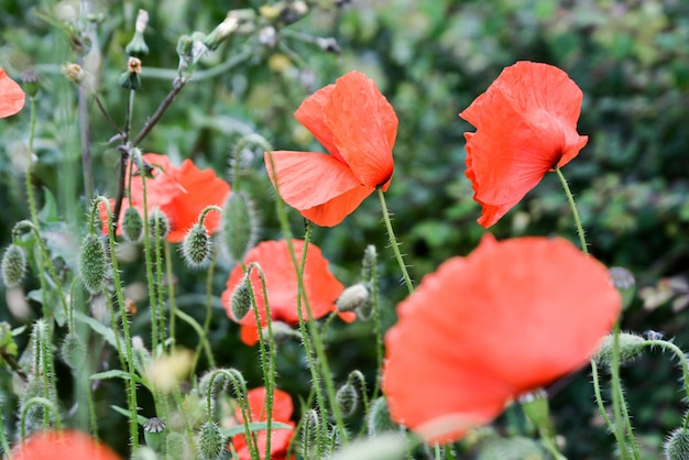 Popy sommerblumen auf wiese im gras Premium Fotos
