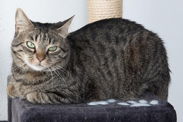 Porträt der grünäugigen katze lokalisiert auf grau Premium Fotos
