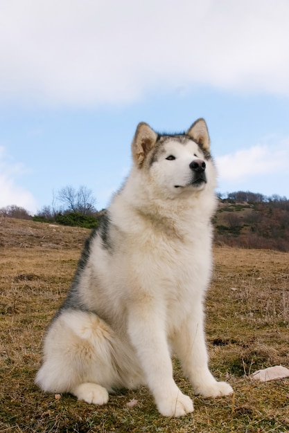 Porträt des alaskischen malamute-hundes Premium Fotos