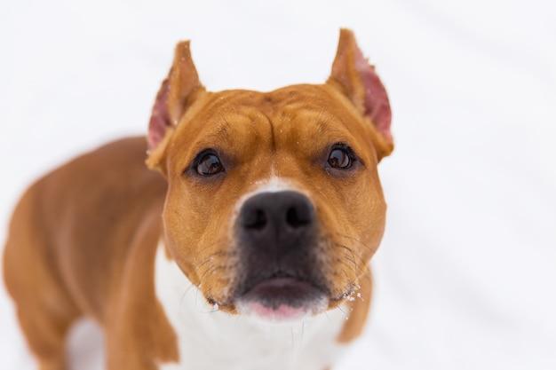 Porträt des braunen rassehundes auf dem schnee. staffordshire-terrier Premium Fotos