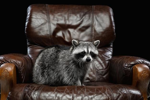 Porträt des kleinen weißen grauen waschbären auf schwarz Kostenlose Fotos
