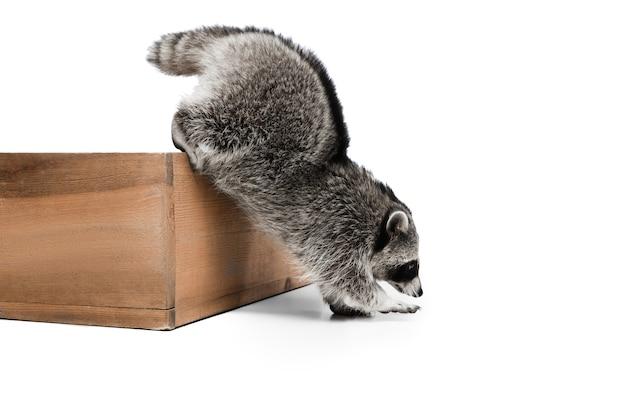 Porträt des kleinen weißen grauen waschbären lokalisiert auf weiß Kostenlose Fotos